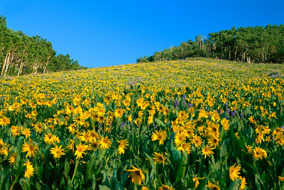 crested_butte_wildflowers_005