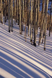 Aspen and shadows